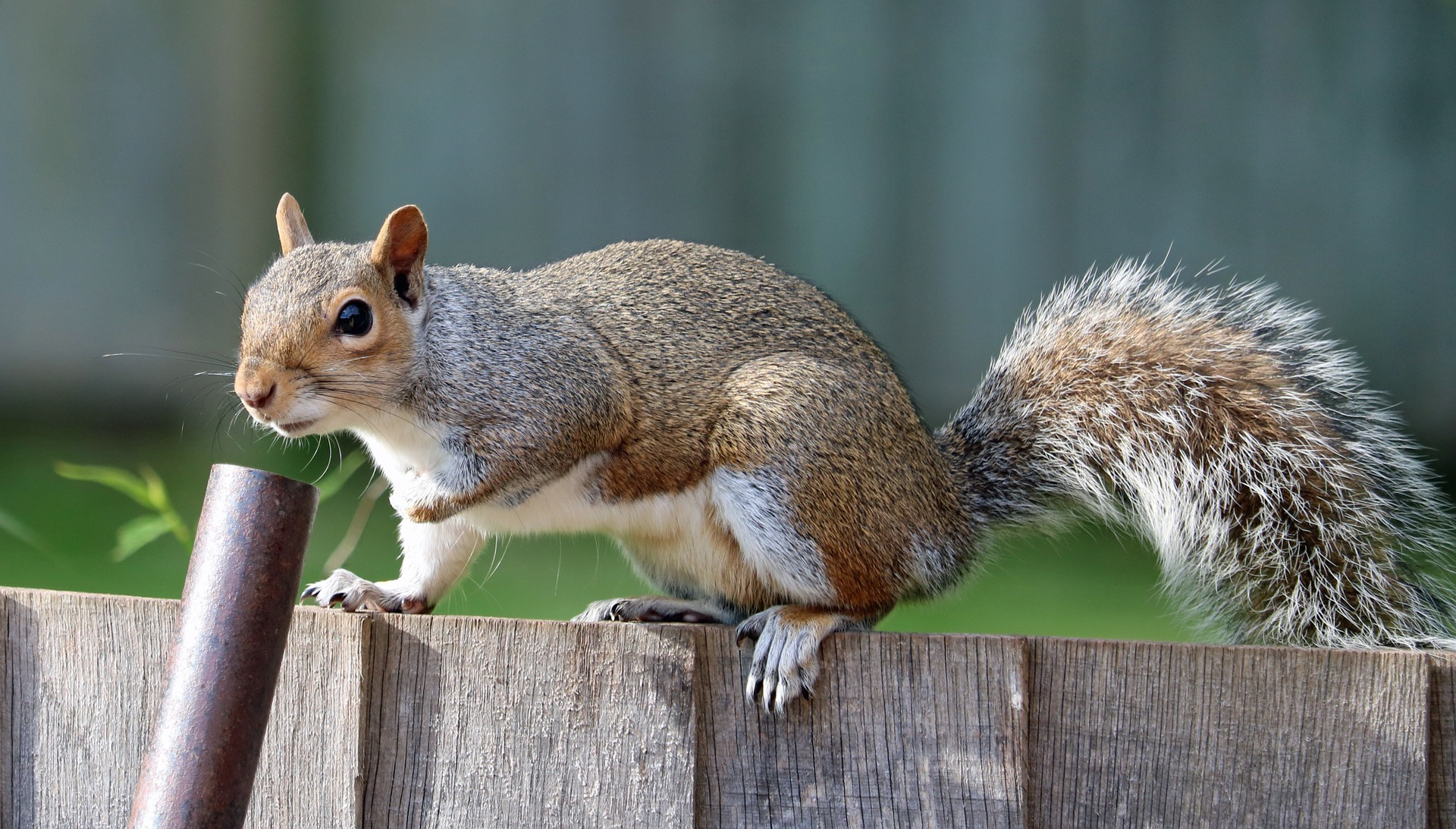 Grey squirrel control